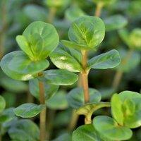 ロタラsp.セイロン(水上葉)(無農薬)(10本)