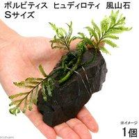 巻きたて ボルビティス ヒュディロティ 風山石 Sサイズ(約10cm)(1個)