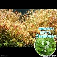 ロタラ ロトンディフォリア(無農薬)(5本)+おまけロタラ3本付