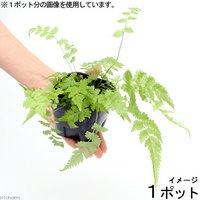 ビバリウムプランツ おまかせシダ植物 3号ポット(1ポット)