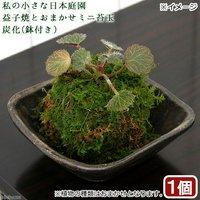 苔 私の小さな日本庭園 益子焼とおまかせミニ苔玉 炭化(1セット)観葉植物 コケ玉