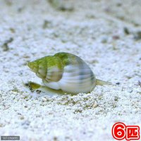 貝 イボヨウバイ 底砂とその他の掃除(6匹)