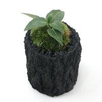 苔盆栽 炭鉢植え ミヤマウズラ Sサイズ(1鉢)