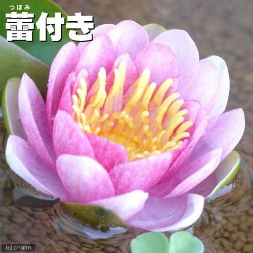 (ビオトープ/睡蓮)蕾付き 温帯性睡蓮(スイレン) 桃(1ポット)
