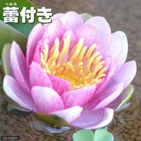 睡蓮 蕾付き 温帯性睡蓮(スイレン) 桃(1ポット)