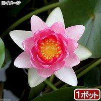 睡蓮 温帯性睡蓮(スイレン)(桃) ユーリング Yuh Ling (1ポット)