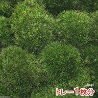 苔 半トレー ヤマゴケ(ホソバオキナゴケアラハシラガゴケ) トレー1枚分 36×27cm