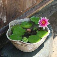 国産 手作り睡蓮鉢 益子焼 彩(SAI) 花型 古信楽 白鏡 直径約38cm ビオトープ