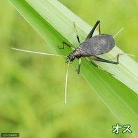 スズムシ 鈴虫 成虫(オス5匹+メス2匹)