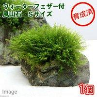 育成済 ウォーターフェザー付 風山石 Sサイズ(約10cm)(無農薬)(1個)