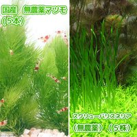 国産 無農薬マツモ(5本)+スクリューバリスネリア(無農薬)(5株)