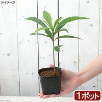 果樹苗 カニステル 3号(1ポット) 家庭菜園 休眠株