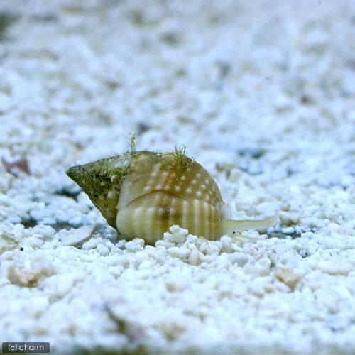 (海水魚 貝 無脊椎)アツムシロガイ 底砂とその他の掃除(1匹) 北海道・九州航空便要保温
