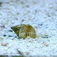 貝 アツムシロガイ 底砂とその他の掃除(1匹)