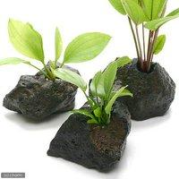 おまかせエキノドルス(子株水上葉) 穴あき溶岩石付(無農薬)(1個)