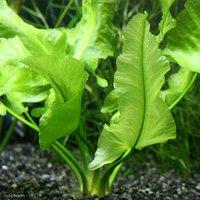 水辺植物 河骨 ナガバコウホネ(長葉河骨)(1ポット) 浮葉植物