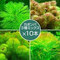 メダカ金魚藻 カボンバミックス(3種/計30本)