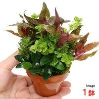素焼き鉢 ナナプチとクリスマスカラーの寄せ植えミックス(1鉢)(水上葉)