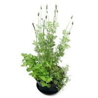 ハーブの寄せ植え 品種おまかせ セラアート 7号(1鉢)(受け皿付き) 家庭菜園