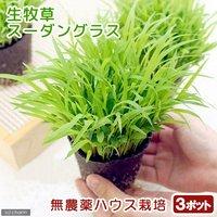 スーダングラス うさぎの草 直径8cmECOポット植え(無農薬)(3ポットセット) 生牧草 うさぎのおやつ