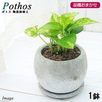 ポトス 品種おまかせ 陶器鉢植え ロゼッタボウルS WH(1鉢) 受け皿付き 北海道冬季発送不可