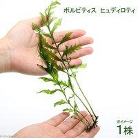 ボルビティス ヒュディロティ(無農薬)(1株)
