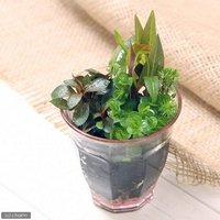 寄せ植えカラーグラス ピンク(水上葉)(無農薬)(1ポット分)