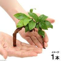 アヌビアス ナナ ゴールデン ブランチアーチ流木付(約15cm~)(1本)