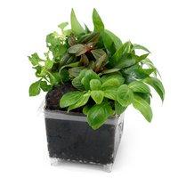ビバリウム用 かえるのお庭 おまかせ寄せ植え 溶岩石レイアウト(水上葉)(無農薬)(3個)