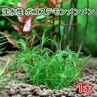 沈水性 ポゴステモン メンメン(無農薬)(1本)