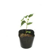 盆栽 またたびの苗 4号(1ポット) 家庭菜園