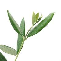 果樹苗 オリーブの木 ミッション 3.5号(1ポット) 家庭菜園 北海道冬季発送不可
