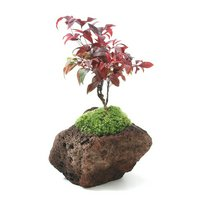 苔盆栽 品種おまかせナンテン 溶岩石鉢植え(1鉢)