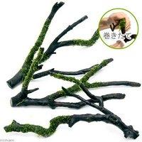 巻きたて ウィローモス 枝状流木 Mサイズ(約20cm~)(無農薬)(1本)