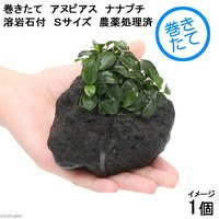 巻きたて アヌビアスナナプチ 溶岩石付 Sサイズ(5~8cm)(1個)