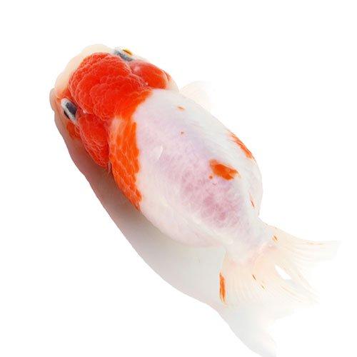 (国産金魚)一点物 桜錦/さくらにしき 三歳 加藤氏作出 11cm±(1匹) 沖縄別途送料