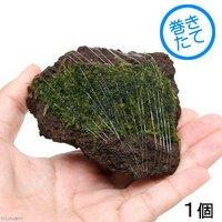 巻きたて ジャイアント南米ウィローモス 富士ノ溶岩石 Sサイズ(約7~9cm)(無農薬)(1個)