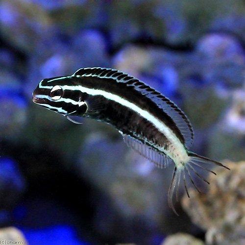 (海水魚)沖縄産 カモハラギンポ(1匹) 北海道・九州・沖縄航空便要保温