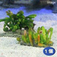 海藻 ナガミズタマ 石付き(1個)