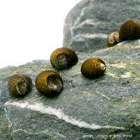 (B品)石巻貝(15匹)+(1匹おまけつき)