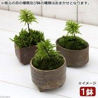 苔盆栽 益子焼鉢植え コウヤノマンネングサ 鉢おまかせ(1鉢)