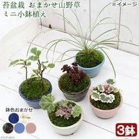 苔盆栽 おまかせ山野草 ミニ小鉢植え 鉢色おまかせ(3鉢)
