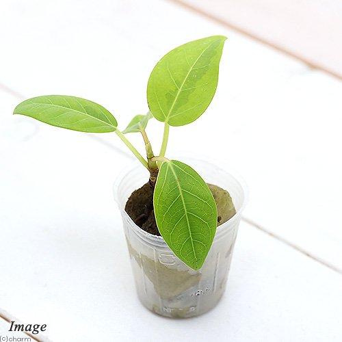 (観葉植物)ミニ観葉 オアシス苗 フィカス アルテシマ(1苗) 北海道冬季発送不可