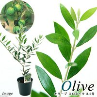 果樹苗 オリーブの木 コロネイキ 3.5号(1鉢) 家庭菜園 北海道冬季発送不可