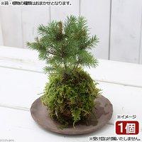 苔玉 Ver.ミニ樹木(品種おまかせ)(1個) 観葉植物 コケ玉