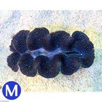 ヒメシャコガイ ブルー Mサイズ(ブリード)(1匹)