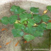 水辺植物 ヒシ(1株) 浮葉植物