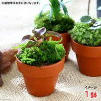 テラコッタプランツ ミニ おまかせ山野草(1鉢)