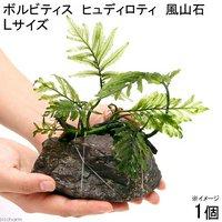 巻きたて ボルビティス ヒュディロティ 風山石 Lサイズ(無農薬)(1個)