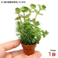 プチ素焼き鉢 ロタラミックス(水上葉)(無農薬)(1鉢)